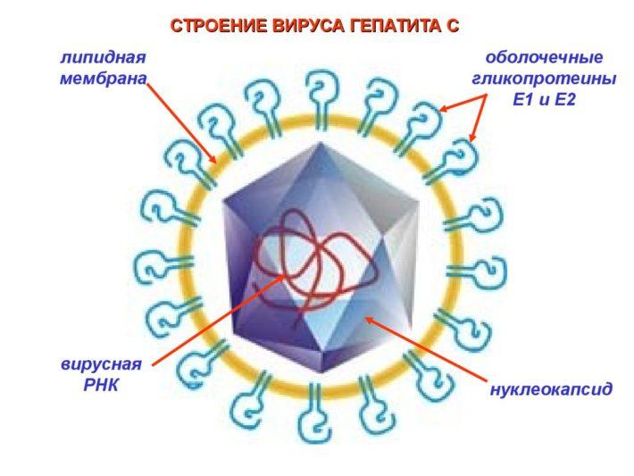 Клетка ВГС