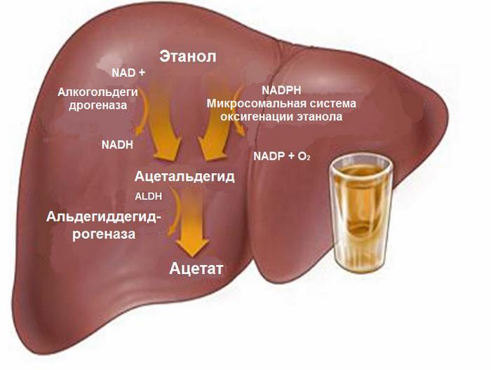Воздействие алкоголя на печень