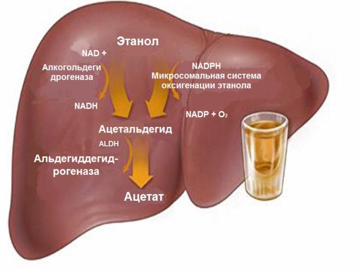 Метаболизм этанола в печени