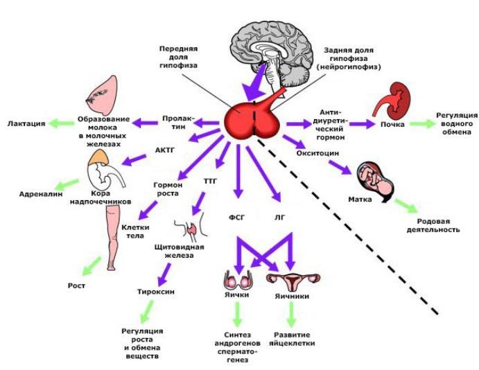 Гормоны в организме