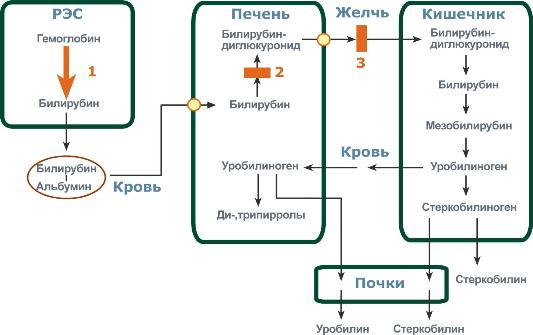 Процесс развития желтухи