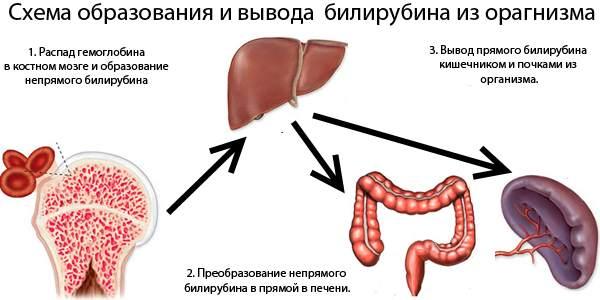 Схема вывода билирубина из организма при надпеченочной желтухе
