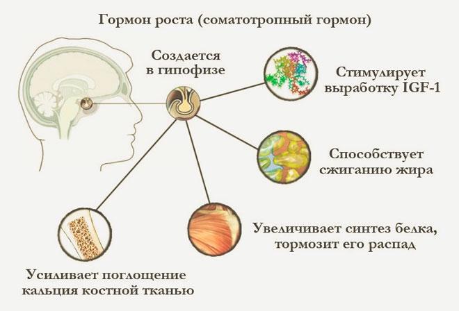 Функции гормона ИФР 1