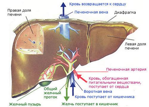 Процесс кровоснабжения