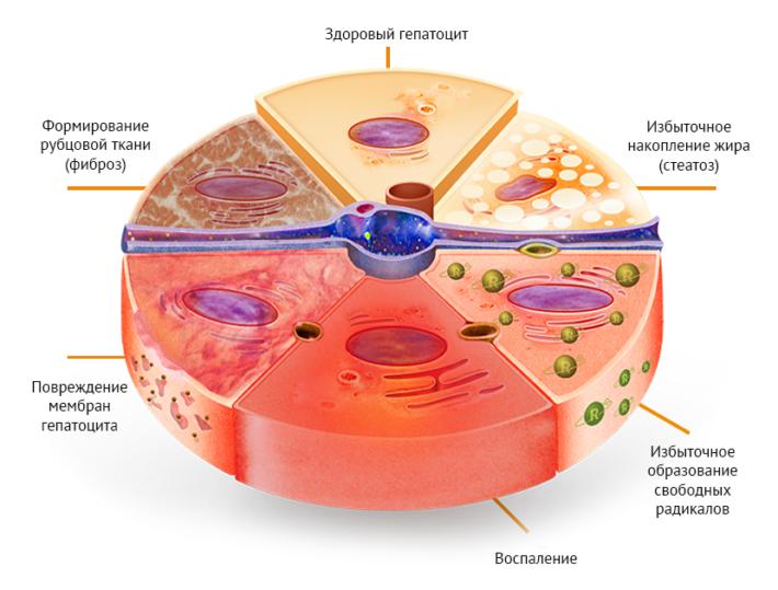 Клетки печени