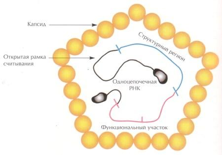 Структура вируса гепатита A