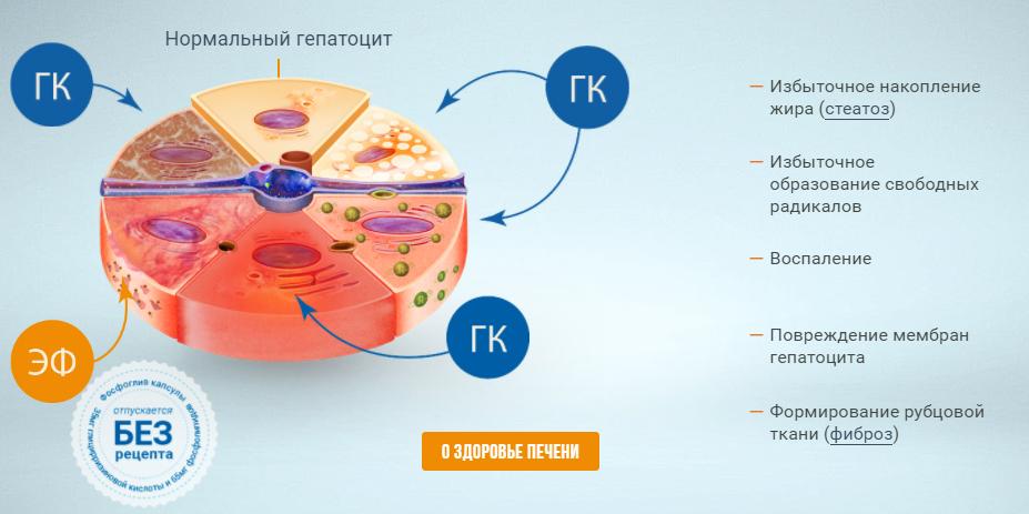 Активные компоненты препарата устраняют причины повреждения и восстанавливают клетки печени