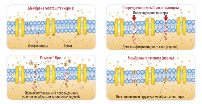 Воздействие Резалюта на мембрану гепатоцита