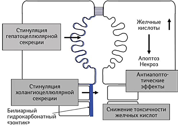 Действие урсодезоксихолевой кислоты