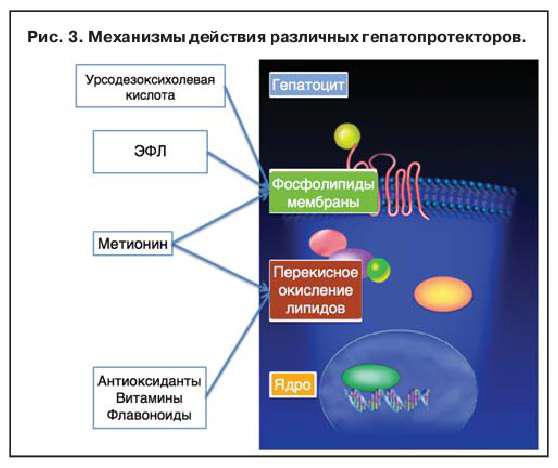 Механизмы действия гепатопротекторов
