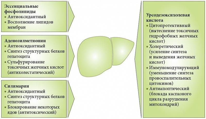 Механизм действия гепатопротекторов