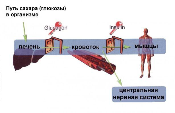 Путь глюкозы в организме