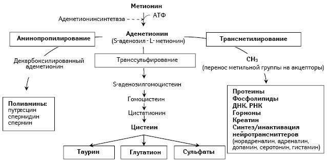 Основные метаболические пути с участием адеметионина