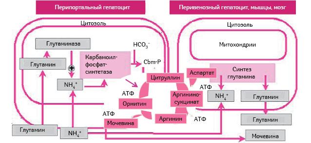 Механизм действия препарата Гепа-Мерц