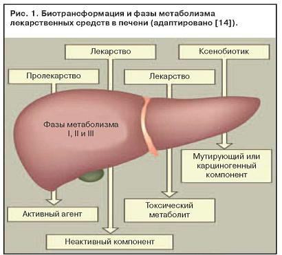 Биотрансформация и фазы метаболизма лекарств