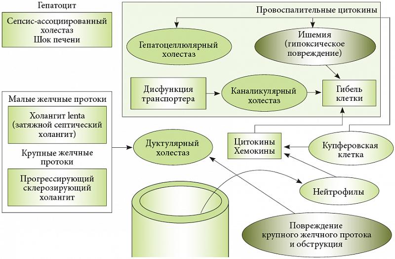 Механизм развития холестаза