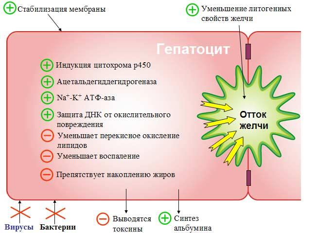 Механизм действия Лив.52