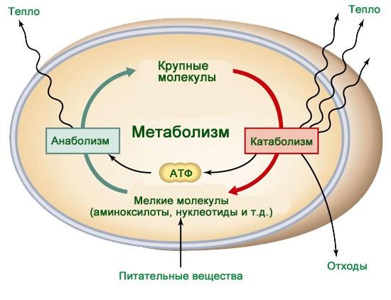 Метаболизм человека