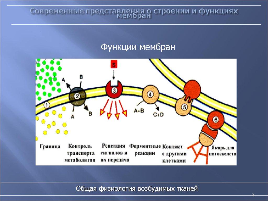 Функции мембран клеток
