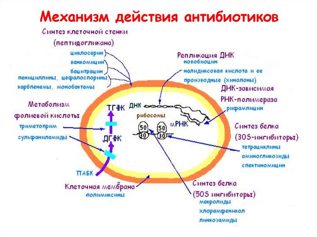 Механизм действия антибиотиков