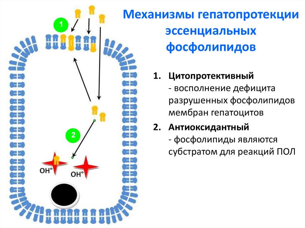 Механизмы гепатопротекции эссенциальных фосфолипидов