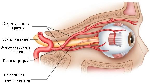 Анатомия сосудов глаза