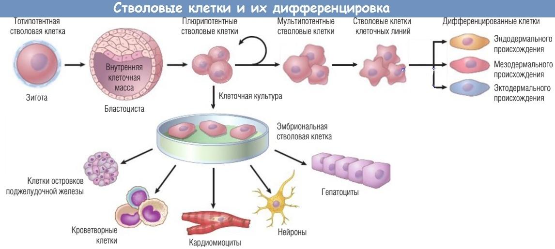 Лечение цирроза стволовыми клетками