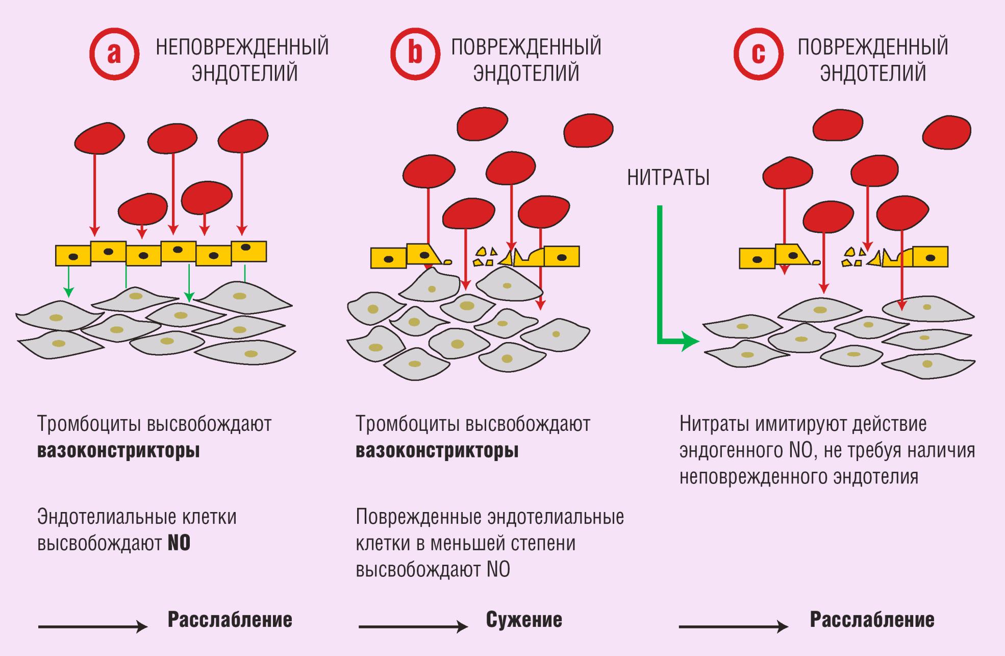 Механизм действия нитратов