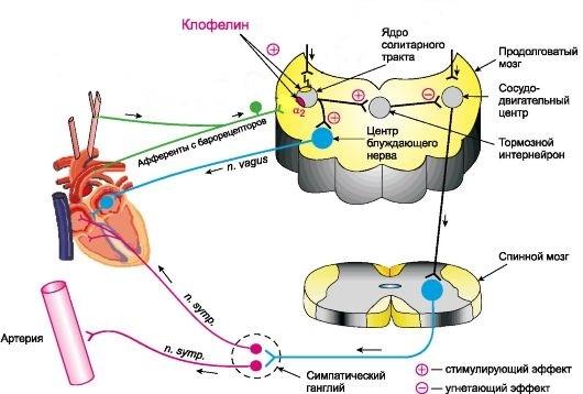 Механизм действия Клофелина
