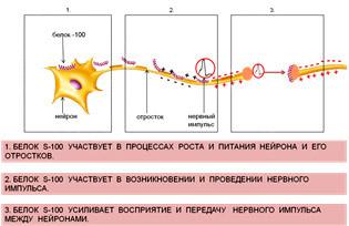 Функции мозгоспецифического белка S-100