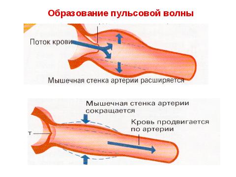 Процесс образования пульсовой волны