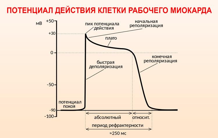 Потенциал действия клетки миокарда