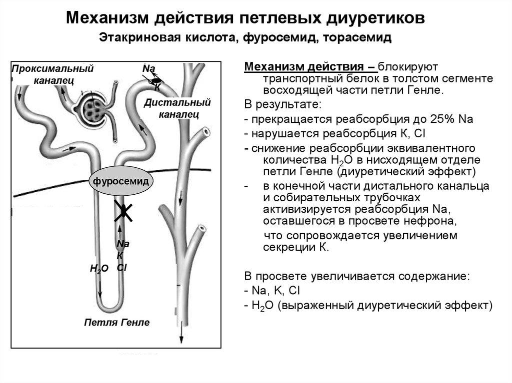 Механизм действия петлевых диуретиков