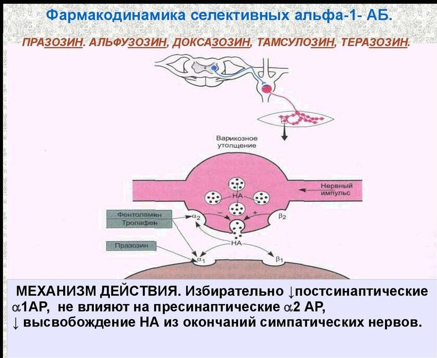 Механизм действия альфа-адреноблокаторов