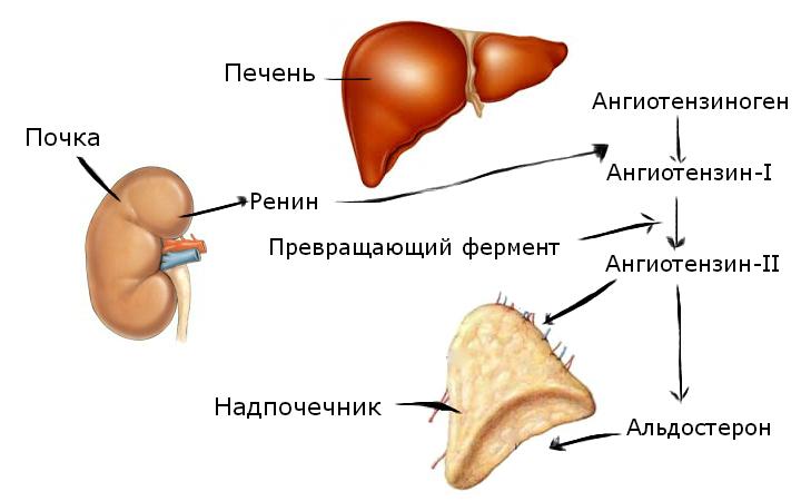 Рисунок 2 – Система ренин-ангиотензин II-альдостерон