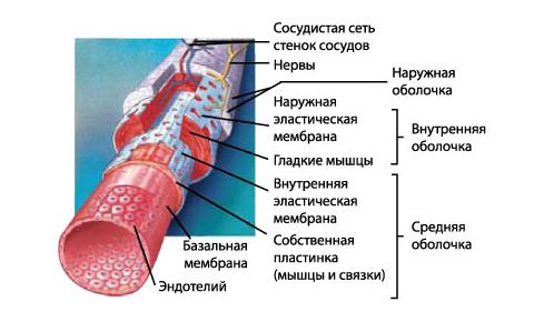 Рисунок 3 – строение кровеносного сосуда