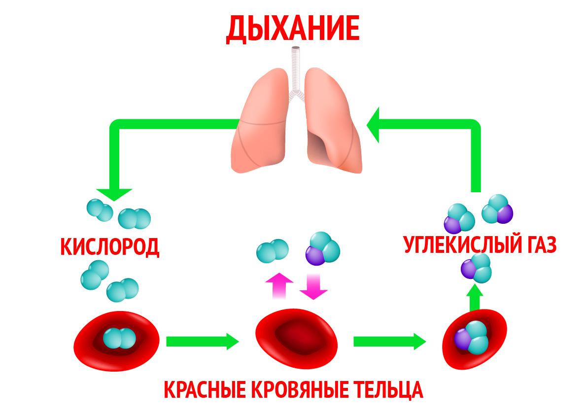 Газовый обмен в процессе дыхания