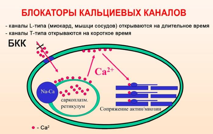 Блокаторы кальциевых каналов