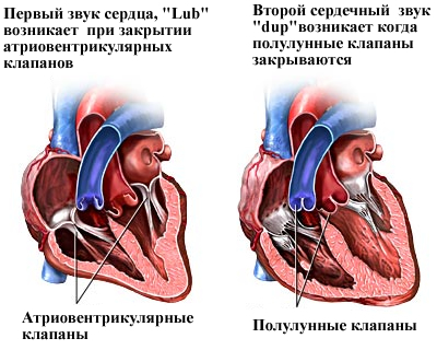 Процесс появления сердечных звуков