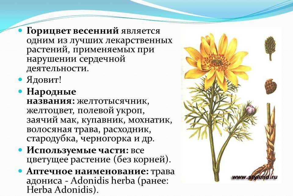 Лечебные свойства адониса