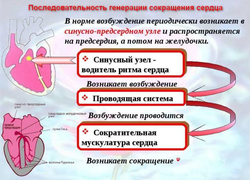 Последовательность генерации сокращения сердца