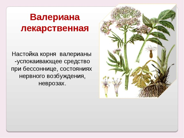Лечебные свойства валерианы