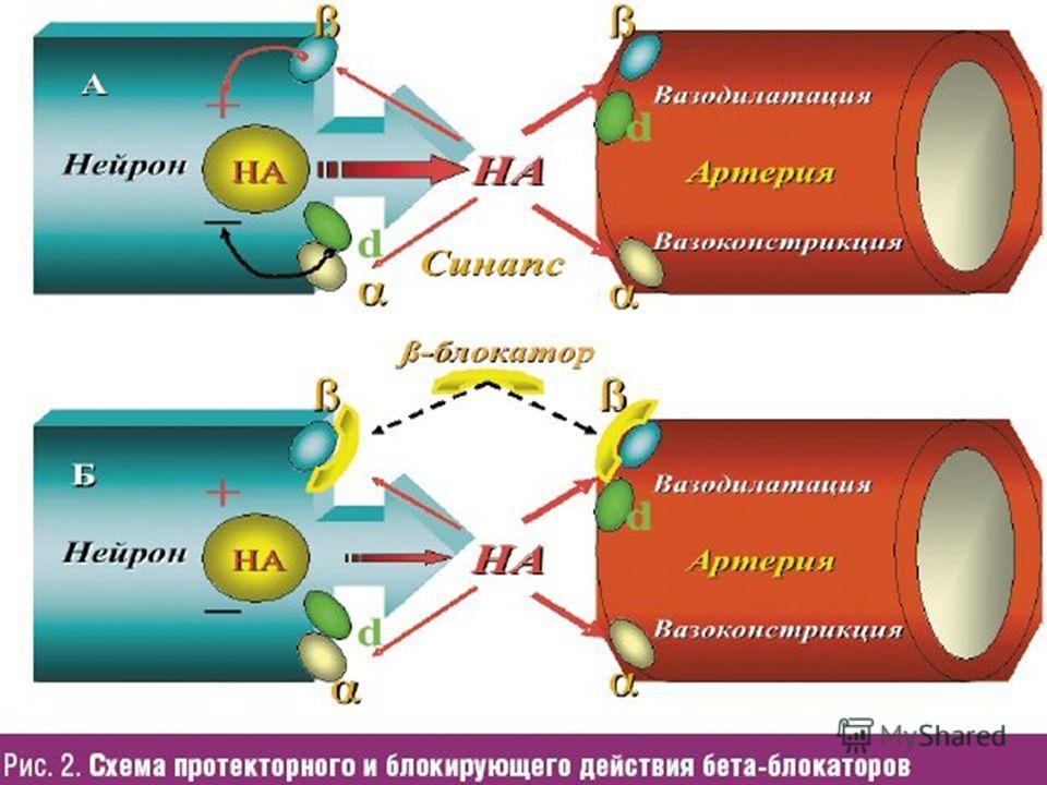 Схема действия бета-адреноблокаторов