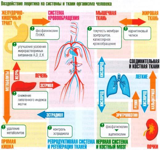 Влияние лецитина на организм