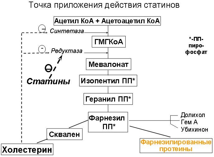 Точка приложения действия статинов