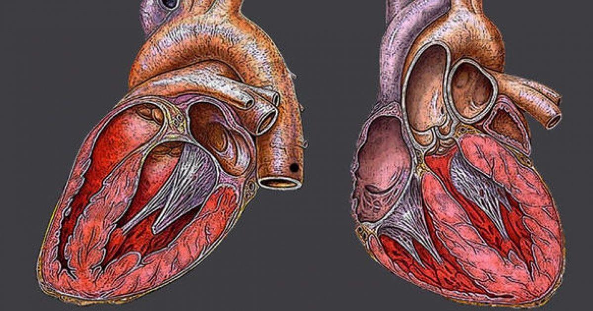 желудочек сердца картинка качестве мяса