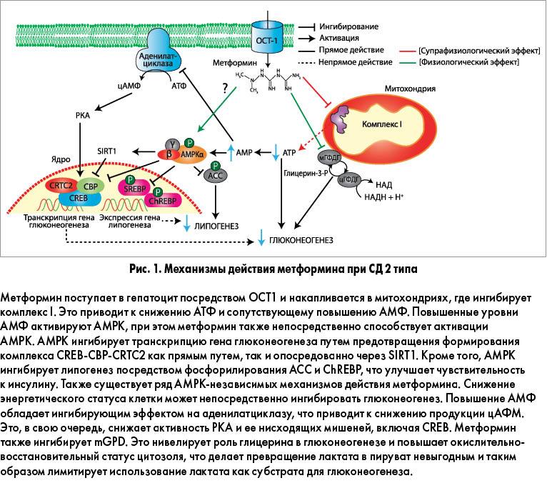 Механизм действия Метформина