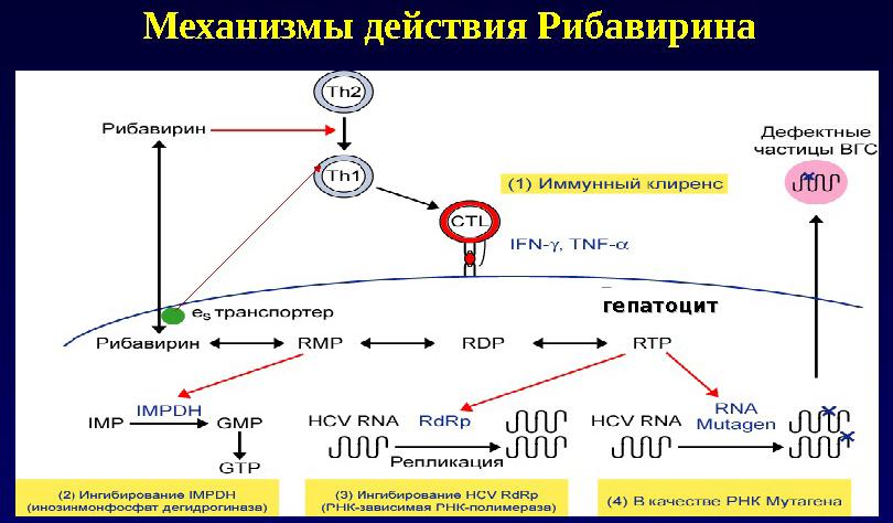Механизм действия Рибавирина