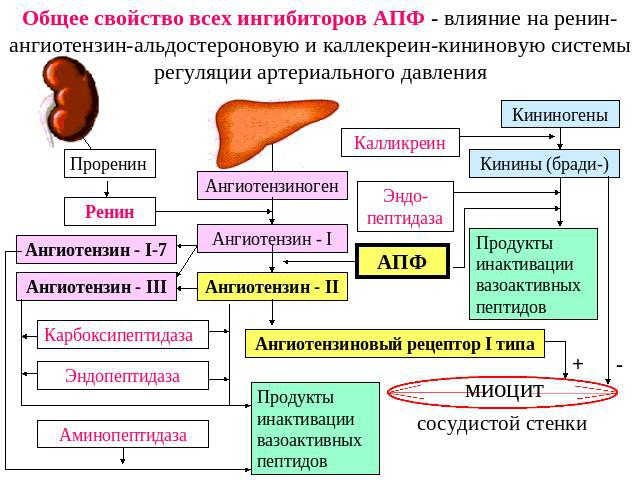 Эффекты ингибиторов АПФ