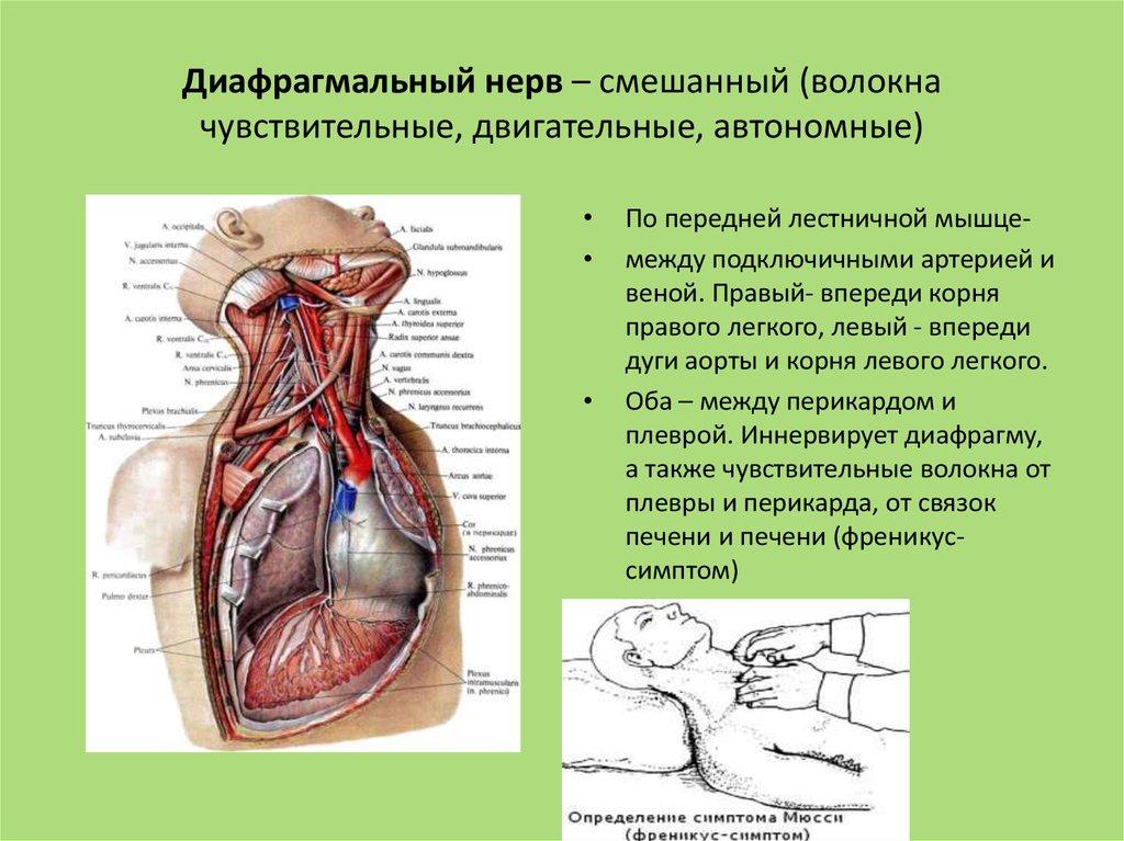 Диафрагмальный нерв